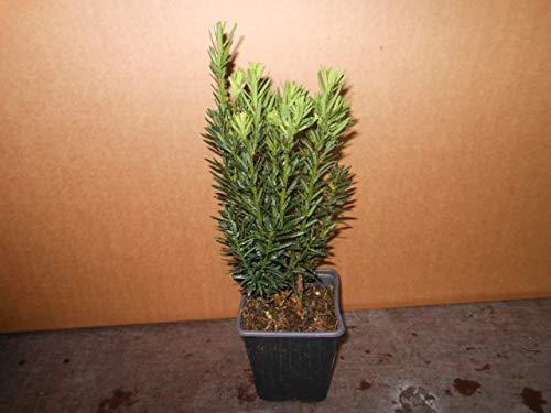 Taxus 25 Stück media Hillii 15-35 cm Höhe veränderlich männlichBecher-Eibe Pflanzware