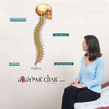 Vertebral Column Sticky Anatomy Wall Chart - Labeled - Large - 26 x 39.5