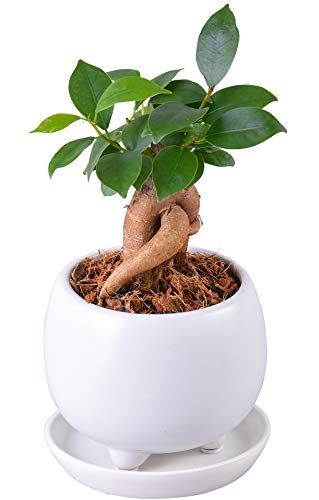 花のギフト社 ガジュマルの木 ガジュマル鉢植え 多幸の木 ガジュマル がじゅまる 観葉植物 鉢皿