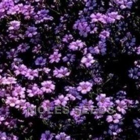 Just Seed Blume Seifenkraut gew hnliches Seifenkraut Seifenkraut 400 Samen