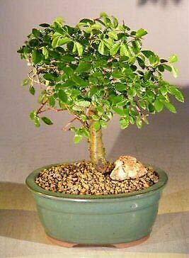 Chinese Elm Bonsai Tree Aged Straight Trunk Style Ulmus Parvifolia 9 yo 10