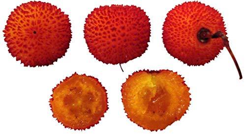 Erdbeerbaum 20 Samen **Arbutus unedo** Winterhart mit leckeren Früchten -DOPPELPACKUNG-
