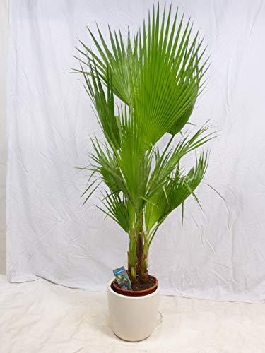 [Palmenlager] - Washingtonia filifera Gruppe mit 2-4 Stämmen 150 cm/Stämme 30 cm - Petticoat Palme