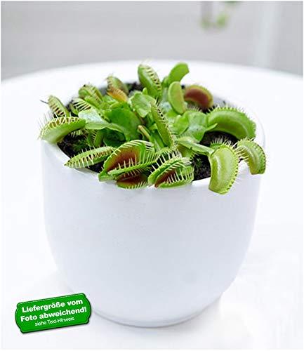 BALDUR-Garten Fleischfressende Pflanze Venusfliegenfalle, 1 Pflanze Dionaea Zimmerpflanze