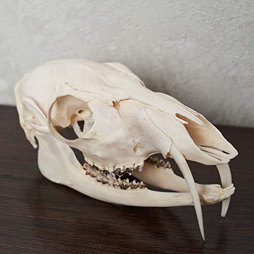 Siberian Musk Deer Taxidermy Skull - Musk-Deer Cleaned Skull, Jaws, Bones, Skeleton, Teeth for Sale - Real, Decor, LIFESIZE, Genuine - ST6689