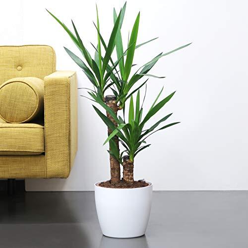 Yucca plant (palm lelie), gratis witte decoratieve pot!