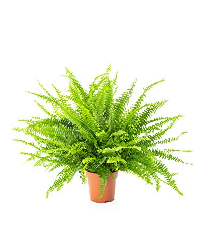 AIRY Schwertfarn Zimmerpflanze, Nephrolepis exaltata (17 cm Topf). Verbessert Raumklima und Luftqualität. Passend zum AIRY Luftreiniger.