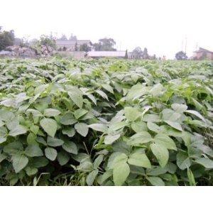 種 だだちゃ豆 枝豆 完全無農薬 無化学肥料 2k