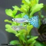 (熱帯魚)ブルーグラスグッピー(国産グッピー)(1ペア) 北海道航空便要保温