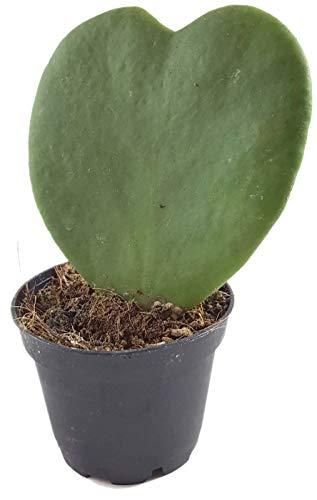 Fangblatt - Hoya kerrii - bezaubernde Porzellanblume/Wachsblume - Herzpflanze zum verschenken - pflegeleichte Zimmerpflanze
