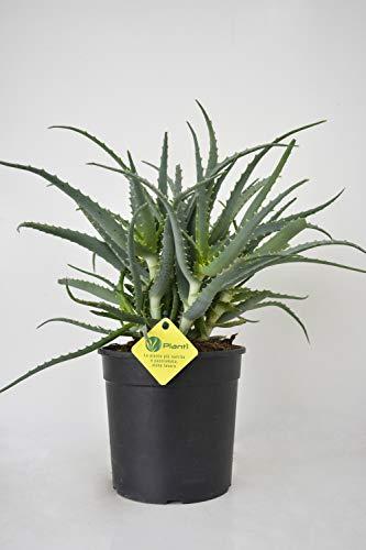 PLANTI' PIANTA VERA DI ALOE | Aloe arborescens | Pianta grassa da esterno, interno e serra. Piante grasse per fioriere e vaso. Piantina sempreverde dalla proprietà curativa. Diametro Vaso 18 cm