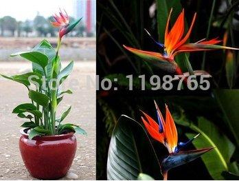 100pcs / pots pack.Flower planteurs Toutes sortes de couleurs Strelitzia reginae graines de semences hybrides de paradis des oiseaux Bonsai plantes Graines 49%