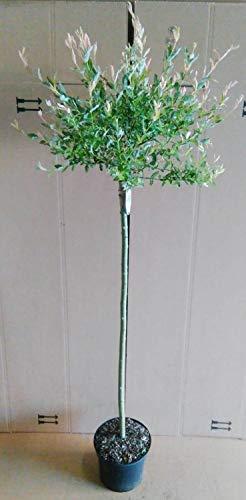 Harlekin Weide,Höhe:160-170 cm, Salix Hakuro Nishiki + Dünger