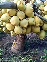 Rain Forest Coconut Fruit Plant Dwarf Variety DxT Coconut Tree Huge Production Healthy Hybrid Plant