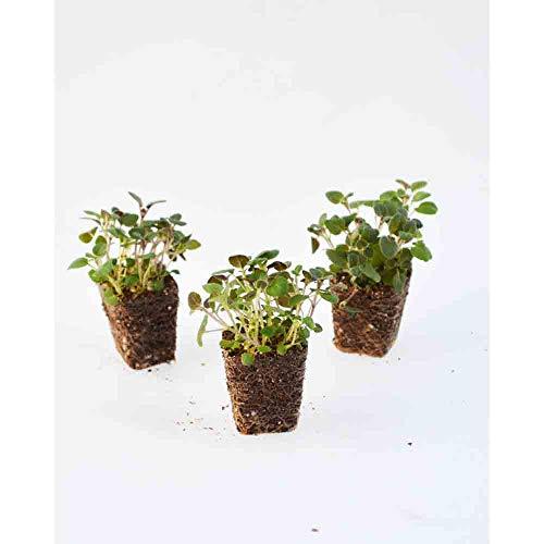 Kräuterpflanzen - Oregano/Kreta - Origanum hirtum - 3 Pflanzen im Wurzelballen