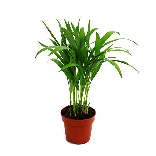 Exotenherz - Palma de oro - Areca - Dypsis lutescens - 1 planta - Fácil de limpiar - Purifica el aire - Maceta de 12 cm.