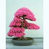 Judas árbol - Cercis siliquastrum - 40 semillas de bonsái - árbol raro