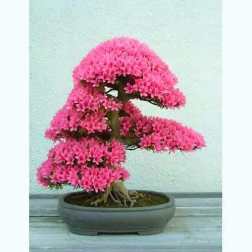 Judasbaum - Cercis siliquastrum - 40 Bonsai Samen - RARE TREE