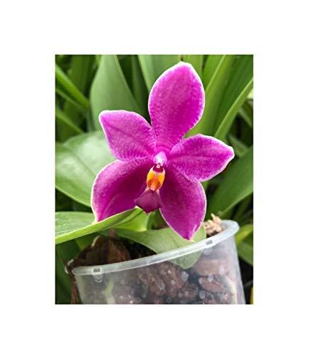 Stk - 1x Phalaenopsis (Encarnada de Caso x George Vasquez) x bellina L476 - Seeds Plants Shop Samenbank Pfullingen Patrik Ipsa