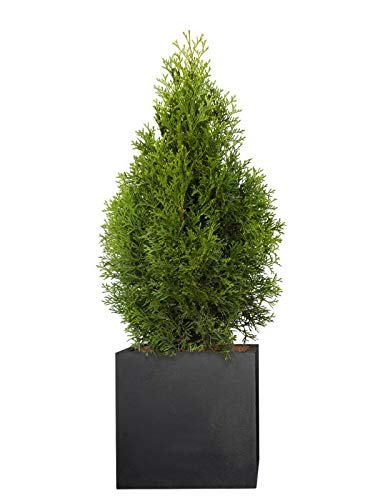 PFLANZWERK® Pflanzkübel Pflanzen - Lebensbaum Thuja Occidentalis Smaragd 120-140cm - 1 Stück - Heckenpflanze - Speziell für Blumentöpfe Blumenkübel *Exklusive Züchtung* *Premium Markenqualität*