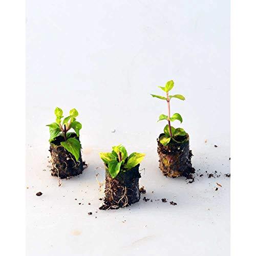 Kräuterpflanzen - Ingwerminze/Ginger - Mentha gracilis - 3 Pflanzen im Wurzelballen