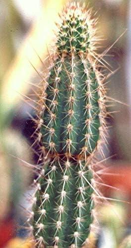 Armatocereus Houston Mall Arboreus Rare Cactus Succulent Ranking TOP10 Flowering Cact PIant