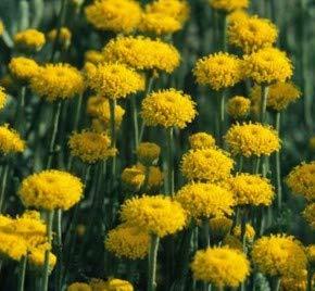 Graues Heiligenkraut - Santolina chamaecyparissus