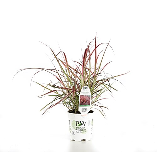 Graceful Grasses Fireworks Variegated Red Fountain Grass(Pennisetum) Live Plant, Green and Pink Foliage, 4.5 in. Quart
