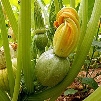 Shop Meeko GROSEEDS - Graines de légumes, Courgette - Tondo Chiaro Di Nizza, V-COU-04, 20 graines par paquet