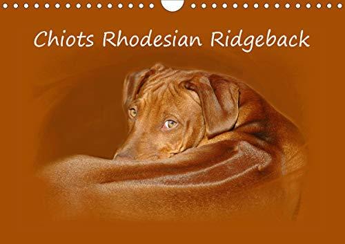 Chiots Rhodesian Ridgeback Calendrier Mural 2020 Din A4 Horizontal - Photographies de Chiots de Rho