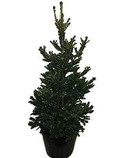 Boom van Botanicly – Picea abies Wills Zwerg – Hoogte: 90 cm
