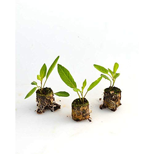 Obstpflanzen - Pepino/Copa® - Solanum muricatum - 3 Pflanzen im Wurzelballen