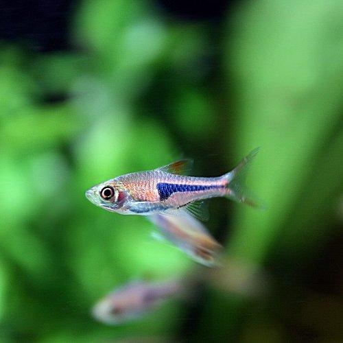 (熱帯魚)ラスボラ エスペイ(約1.5cm)<10匹>[生体]