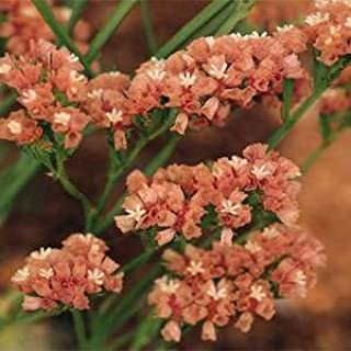 50 APRICOT BEAUTY STATICE Limonium Sinuatum Flower SeedsComb S/H