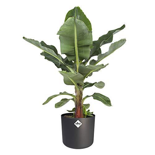 Zimmerpflanze – Bananenpflanze in anthrazitfarbenem zylindrischen Übertopf als Set – Höhe: 80 cm