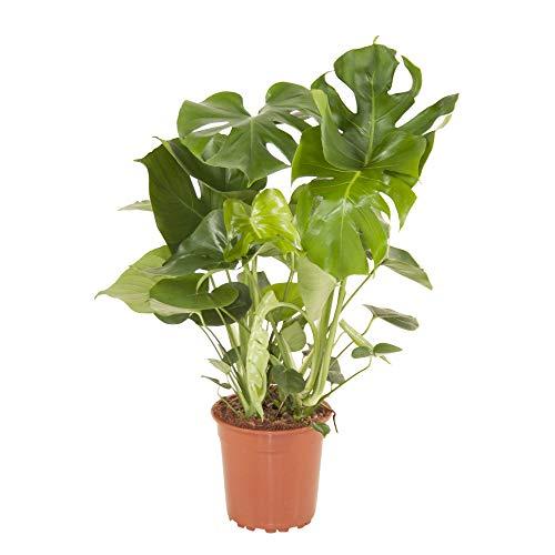 Monstera deliciosa | Fensterblatt | Luftreinigend | Exotische Zimmerpflanzen indoor | Höhe 75-85 cm | Topf-Ø 21 cm