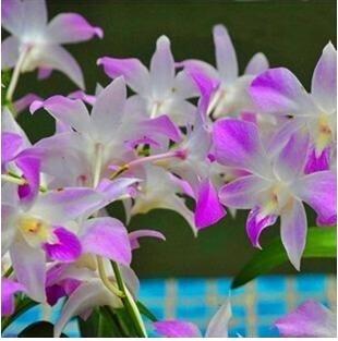 10pcs/lot papillon graines d'orchidées, fleurs d'intérieur bonsaï quatre saisons, Phalaenopsis Orchidées jardin à la maison 16