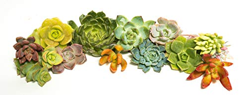 Succulent Rosette Cutting Pack- Brighten Up Your Garden with A Wide Variety of Healthy Rosette Succulent Plants Ready to Be Rooted by Jiimz (15 Pack)
