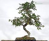 Zoom IMG-1 bonsai di olmo cinese vaso