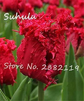 Vistaric Semillas de flores hermosas de tulipán raras 30 semillas/bolsa semillas de tulipán (no bulbos de tulipán) bricolaje jardín casero siembra Flores simboliza amor 19