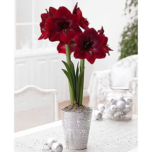 Hippeastrum 'Red Pearl' | Amaryllis mit roter Blüte | Ritterstern Blumenzwiebel Ø 26-28 cm
