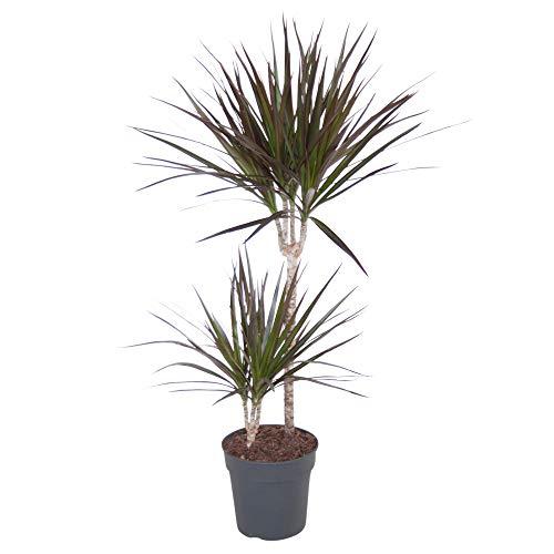 Dracaena marginata | Drachenpalme Pflanze | Palmen Pflanzen | Höhe 95-105 cm | Topf-Ø 19 cm