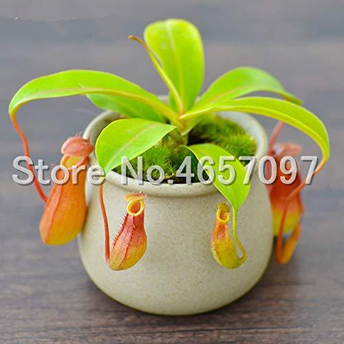 SANHOC 300 PC/Los muscipula Riesen Clip Venusfliegenfalle Pflanze Multifarious Nepenthes Fleisch fressende Pflanze Bonsai-Baum für Garten: 4