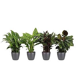 Mix Fresh | 4 plantes vertes d'intérieur tropicales | Chamaedora, Syngonium, Musa, Coffea | Hauteur 25-30cm | Pots Elho…