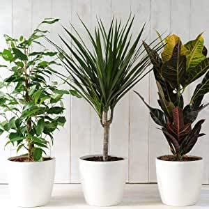 Evergreen Indoor Best House Plants Collection, Clean Air Purifying, Real Plants with Unique Foliage...