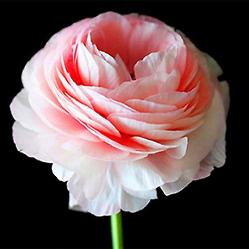 yanbirdfx Blumen Samen für Garten und Balkon-100 Stück Hübsche Ranunkel Asiaticus Butterblume Samen Blume Hausgarten Pflanze - Weiß Rosa Ranunkel Asiaticus Samen