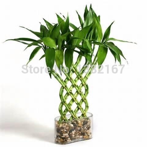 2014 Venta Rushed árbol Seedsbonsia mixtos 20 semillas bambú de la suerte, Balcón maceta, plantación es simple, de florecimiento Tasa de 95%