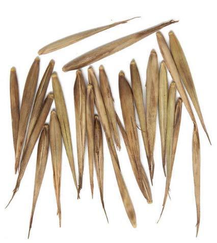 KINGDUO 100pcs Garden Evergreen Arbor Moso Bambou graines Cour Phyllostachys pubescentes Plantes