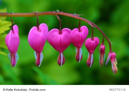 Tränendes Herz pink Dicentra spectabilis 10 Samen