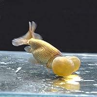 【金魚王子】茶水泡眼 (8センチ前後) 個体番号:bnm212 金魚 きんぎょ 生体 水泡眼 厳選個体